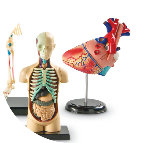 science models of the human body